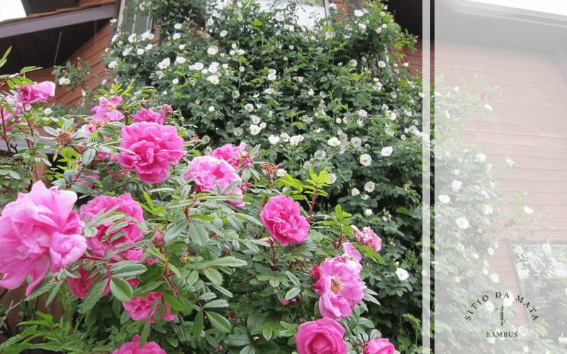Ipomeia Rubra: A Trepadeira Com Flores Rosas
