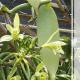 Baunilha Planta: Tenha Esse Aroma em Sua Casa